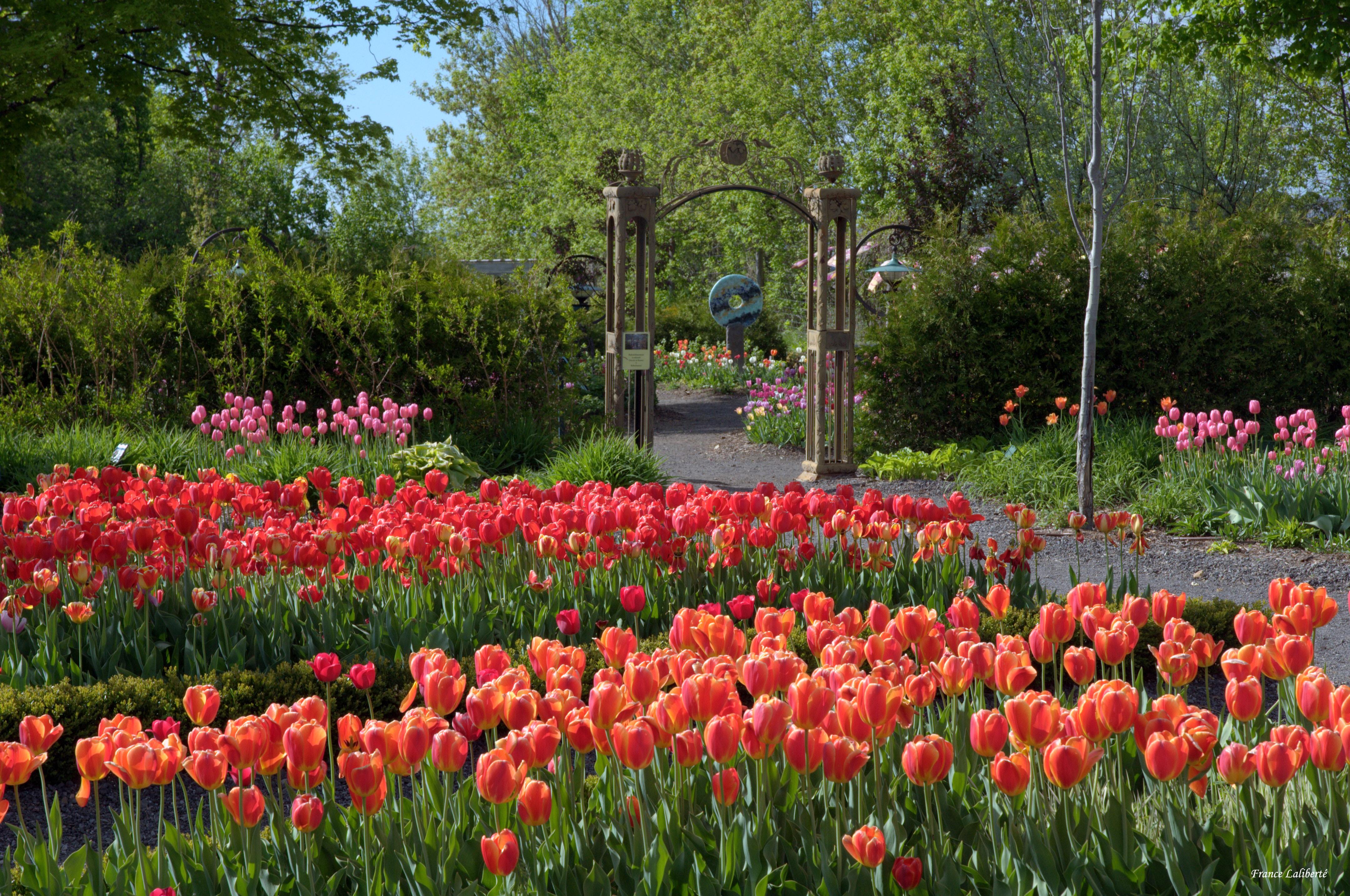 50 000 bulbes de tulipes jonquilles jacinthes for Fleurs de nos jardins